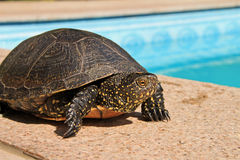 Aquatic turtle. A big green turtle posing next to a swimming pool Royalty Free Stock Photo