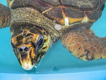 Aquatic turtle close up Stock Photos