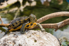 Aquatic turtle Royalty Free Stock Image