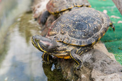 Aquatic turtle Royalty Free Stock Images