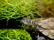 Aquatic Turtle Stock Images
