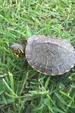 Aquatic Turtle. Yellow Bellied Sliders are Aquatic turtles. This particular turtle was found at Pennington Beach in Tishomingo, Oklahoma. Yellow Sliders spend Royalty Free Stock Photos