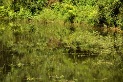 Aquatic Vegetation Royalty Free Stock Images