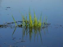 Aquatic Vegetation - Illinois Royalty Free Stock Images