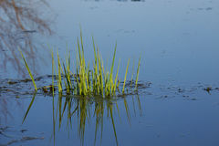 Aquatic Vegetation in Illinois Stock Images