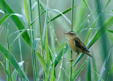 Aquatic warbler(Acrocephalus paludicola). Poland in summer.Reeds above the edge of the old river bed.Aquatic warbler,rare and closely protected species of the Royalty Free Stock Image