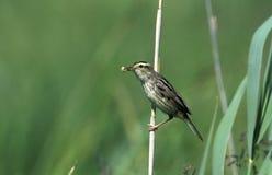 Aquatic warbler, Acrocephalus paludicola Stock Photos