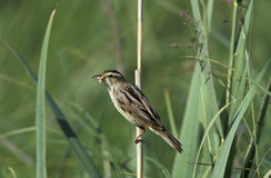 Aquatic warbler, Acrocephalus paludicola Stock Photos