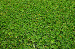 Aquatic Weed background Royalty Free Stock Image