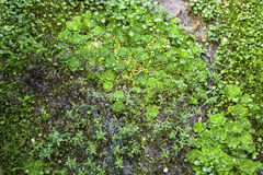 Aquatic Weed background Royalty Free Stock Photos