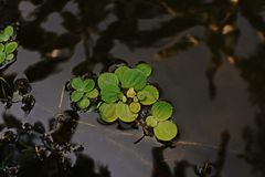 Aquatic weed,floating weed Royalty Free Stock Photos