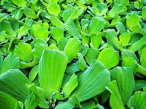 Aquatic Weed - Green Aquatic Plant. Closeup Photo of Aquatic Weed - Green Aquatic Plant Floating in the Swamp stock image