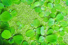 Aquatic Weeds On The Water Royalty Free Stock Images