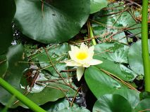 Aquatic yellow flower Royalty Free Stock Images