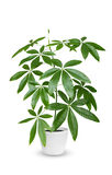 Aquatica de Pachira uma planta em pasta isolada sobre o branco Foto de Stock Royalty Free