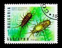 Aquaticus, χλωρίδα και πανίδα Asellus Waterlouse serie, circa 199 Στοκ φωτογραφία με δικαίωμα ελεύθερης χρήσης