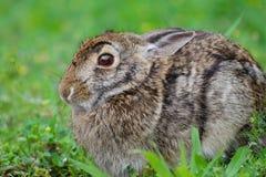 Aquaticus asustado del Sylvilagus de las liebres de pantano del conejo de pantano Imagenes de archivo