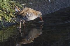 Aquaticus Rallus ραγών νερού στην όχθη ποταμού Στοκ φωτογραφίες με δικαίωμα ελεύθερης χρήσης