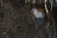 Aquaticus Rallus ραγών νερού στην όχθη ποταμού Στοκ εικόνες με δικαίωμα ελεύθερης χρήσης