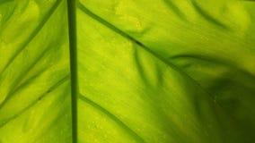 Aquatilis esculenta del Colocasia Imagen de archivo