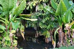 Aquatique de Bananier, lindleyanum de Typhonodorum en el jardín botánico de Pamplemousses Fotografía de archivo libre de regalías