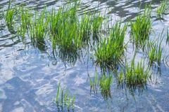 Aquatisch gras royalty-vrije stock afbeelding
