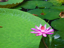 Aquatische bloem Royalty-vrije Stock Foto
