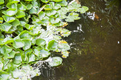 Aquatische installaties Royalty-vrije Stock Afbeeldingen