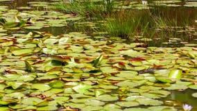 Aquatische Installaties in een vijver met een lotusbloembloem stock video