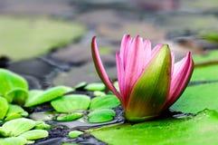 Aquatische lotusbloem Royalty-vrije Stock Afbeelding