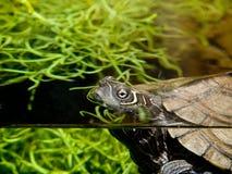 Aquatische schildpad Stock Afbeeldingen
