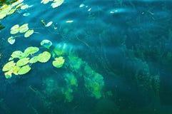 Aquatische vegetations Stock Afbeeldingen