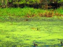 Aquatische vogels die op drijvende aquatische vegetatie lopen stock afbeeldingen