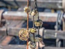 Aquiculture, mollusques et crustacés Verger d'O, Pontevedra, Espagne photo stock