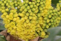 Aquifolia del Mahonia Foto de archivo