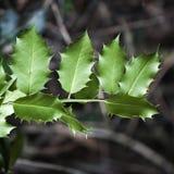 Aquifolium της HOLLY Ilex στο γκρίζο υπόβαθρο φύσης Στοκ Φωτογραφίες