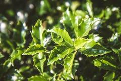 Aquifolium της HOLLY Ilex Στοκ φωτογραφίες με δικαίωμα ελεύθερης χρήσης