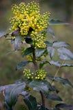 Aquifolium Berberidaceae Mahonia Στοκ Εικόνα