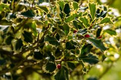 Aquifolium d'Ilex de houx de Noël Argentea Marginata sur le fond de tache floue Feuilles frangées gracieuses avec les baies rouge photographie stock