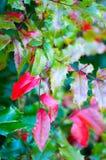 Aquifolium de Mahonia Photo libre de droits