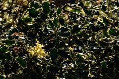 Aquifolium del Ilex Imagen de archivo