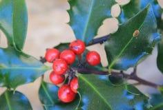 Aquifolium del Ilex de Acebo Fotografía de archivo