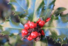 Aquifolium del Ilex de Acebo Fotografía de archivo libre de regalías