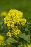 Aquifolium del Mahonia Foto de archivo