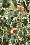 Aquifolium Ilex, κοινός, αγγλικά, ευρωπαϊκά, ελαιόπρινος Χριστουγέννων, Στοκ εικόνες με δικαίωμα ελεύθερης χρήσης