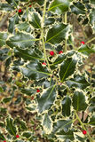 Aquifolium Ilex, κοινός, αγγλικά, ευρωπαϊκά, ελαιόπρινος Χριστουγέννων, Στοκ φωτογραφία με δικαίωμα ελεύθερης χρήσης