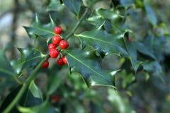 Aquifolium Ilex Στοκ Εικόνες