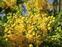 Aquifolium Ilex Στοκ Εικόνα