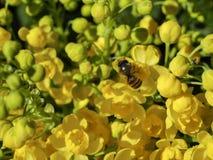 Aquifolium Ilex Στοκ Φωτογραφία