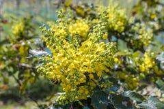 Aquifolium Ilex Στοκ φωτογραφίες με δικαίωμα ελεύθερης χρήσης